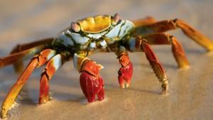 갈라파고스붉은게 [Sally Lightfoot crab]