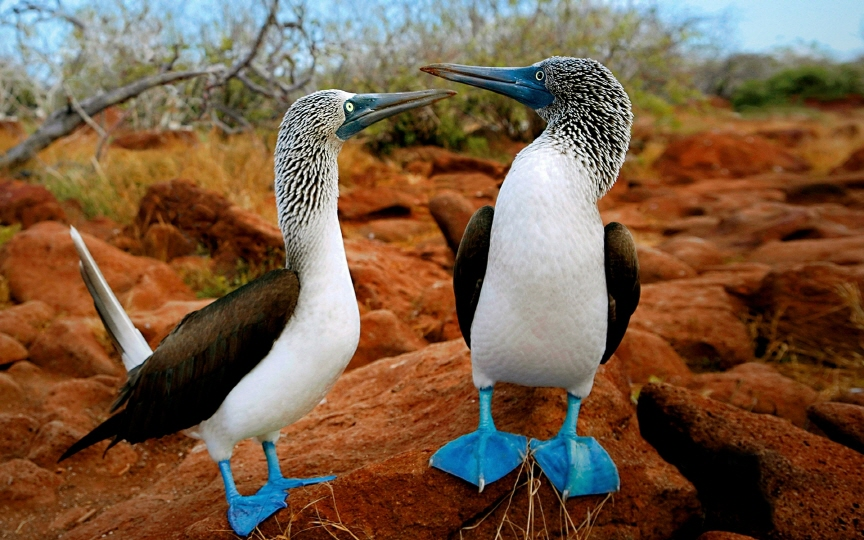blue-footed-booby-galapagos-islands