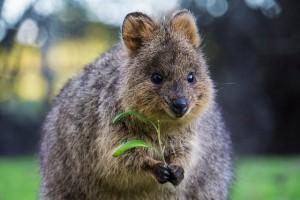 호주여행가서 쿼카하고 사진찍기