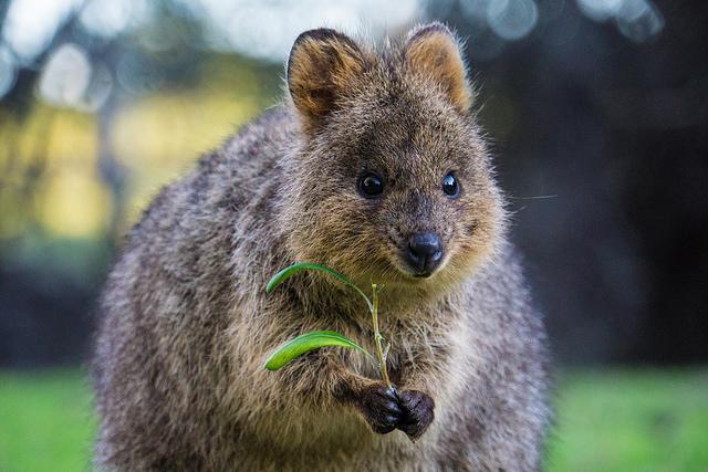 Quokka-쿼카-호주