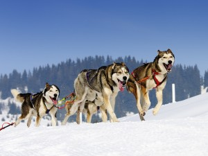 canada-dog-sledding-개썰매타기