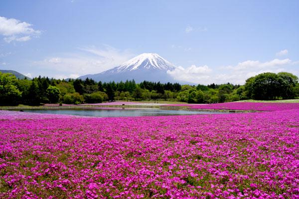 분홍빛 천국 후지 시바자쿠라 축제 즐기기